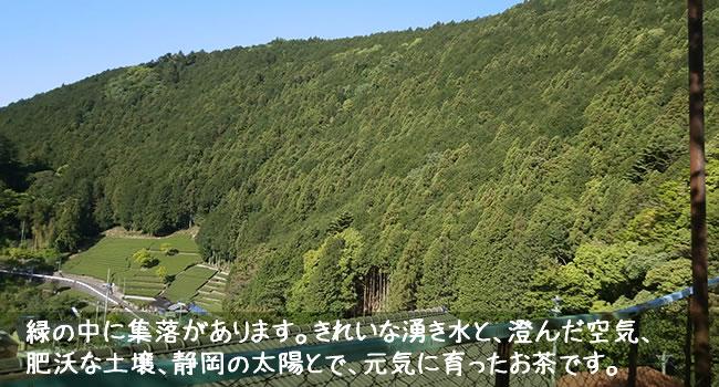 緑の中に集落があります。きれいな湧き水と、澄んだ空気、 肥沃な土壌、静岡の太陽とで、元気に育ったお茶です。