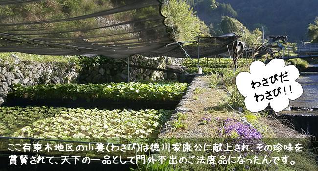 ここ有東木地区の山葵(わさび)は徳川家康公に献上され、その珍味を 賞賛されて、天下の一品として門外不出のご法度品になったんです。