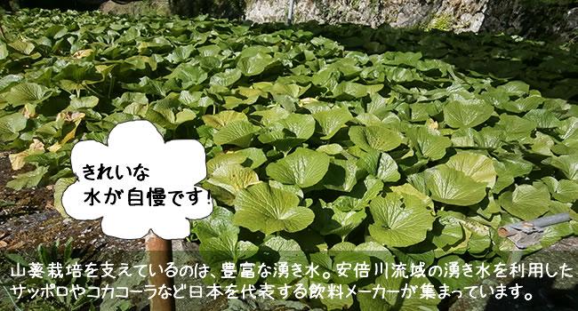 山葵栽培を支えているのは、豊富な湧き水。安倍川流域の湧き水を利用した サッポロやコカコーラなど日本を代表する飲料メーカーが集まっています。