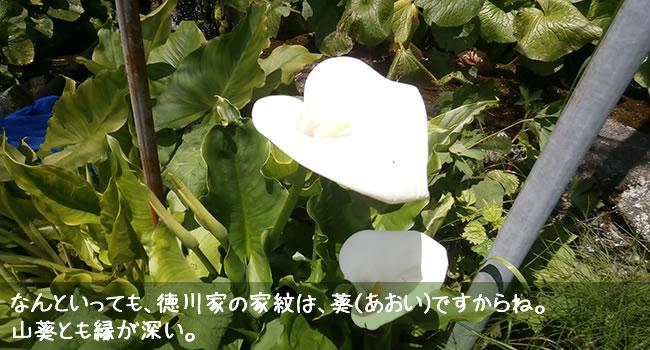 なんといっても、徳川家の家紋は、葵(あおい)ですからね。 山葵とも縁が深い。