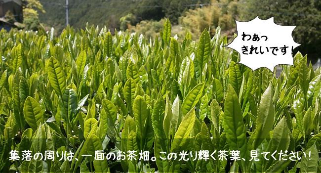 集落の周りは、一面のお茶畑。この光り輝く茶葉、見てください!