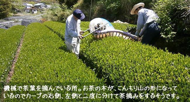 機械で茶葉を摘んでいる所。お茶の木が、こんもり山の形になって いるのでカーブの右側、左側と二度に分けて茶摘みをするそうです。